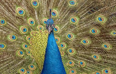 Peacock Splendor Poster