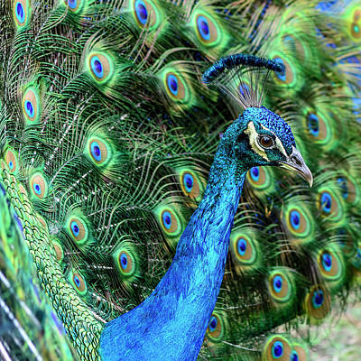Poster featuring the photograph Peacock by Steven Sparks