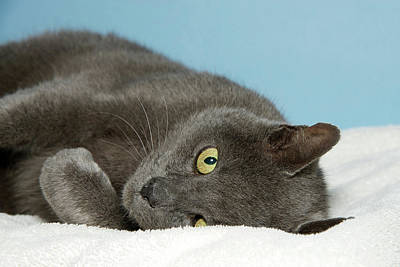 Peak A Boo Gray Chartreux Cat Poster