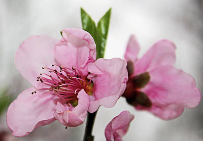 Poster featuring the photograph Plum Blossom by Kristin Elmquist