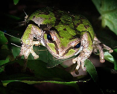 Peek A Boo Pacific Tree Frog Poster by Nick Gustafson