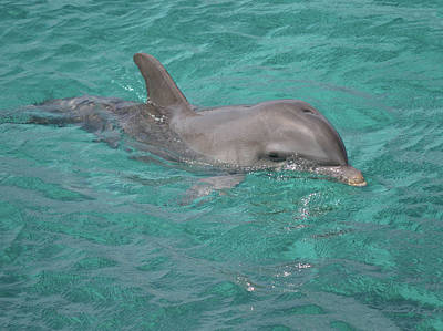 Peeking Dolphin Poster