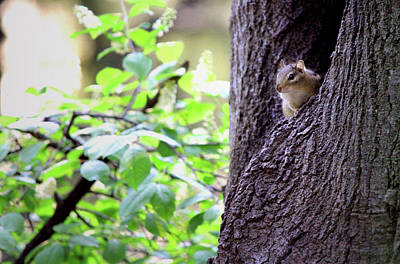 Peeking Eastern Chipmunk Poster