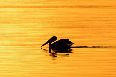Poster featuring the photograph Pelican Cruising At Sunset In Key West by Bob Slitzan
