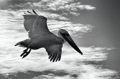 Poster featuring the photograph Pelican In Flight by AJ Schibig
