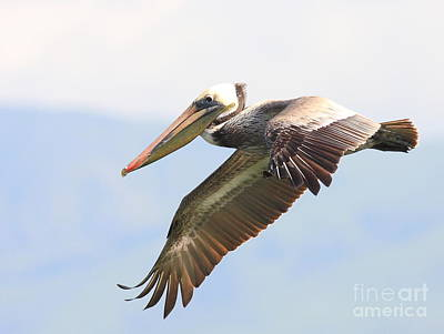 Pelican In The Sky Poster by Wingsdomain Art and Photography