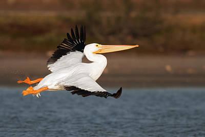 Pelican Lift Off Poster