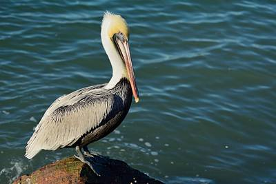 Poster featuring the photograph Pelican On A Rock by Bradford Martin