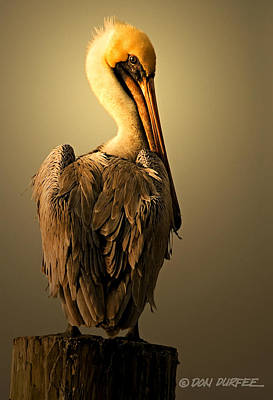 Pelican On Piling Poster by Don Durfee