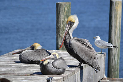 Pelican Pad With Gull Poster