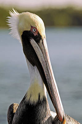 Pelican Portrait Poster by Sally Weigand