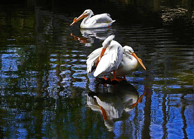 Pelican Reflections Poster by Judy Wanamaker