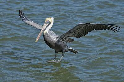 Poster featuring the photograph Pelican Walks On Water by Bradford Martin
