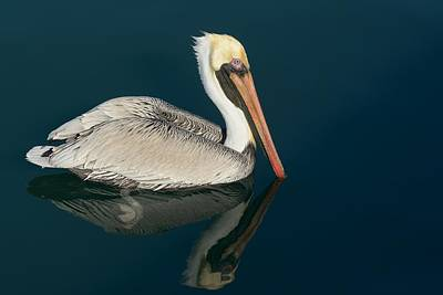 Poster featuring the photograph Pelican With Reflection by Bradford Martin