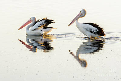 Pelicans At Dusk Poster by Werner Padarin