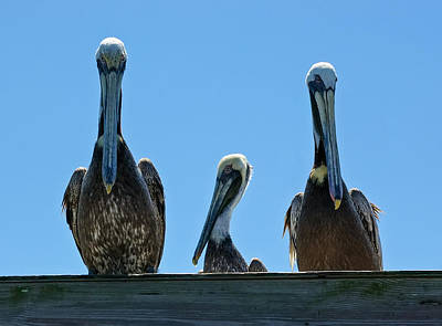 Pelicans At The Kure Beach Fishing Pier 2006 Poster