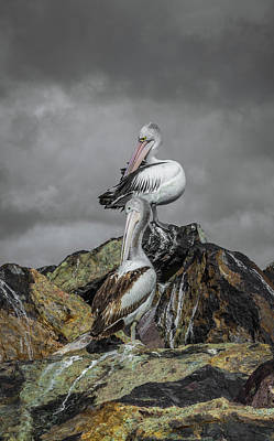 Pelicans On Rocks Poster
