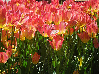 Pella Tulips Yellow Pink Poster