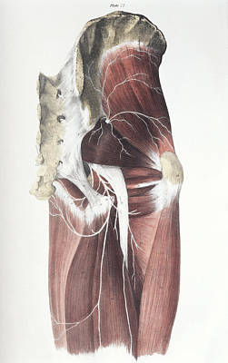 Pelvic Spinal Nerves Poster by Sheila Terry