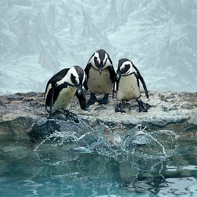 Penguins Poster by Fotografias de Rodolfo Velasco