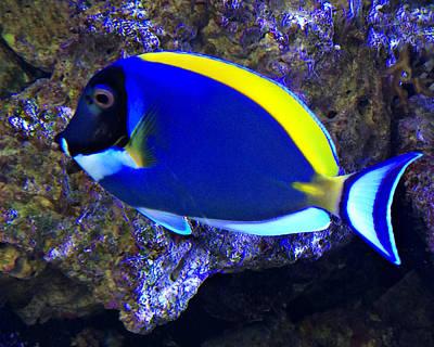 Blue Tang Fish  Poster