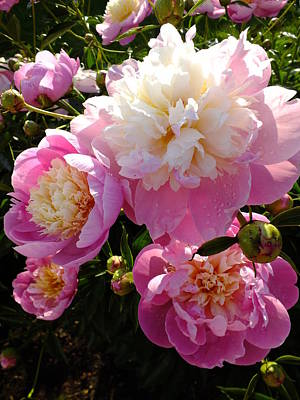 Sorbet Peony Poster by Cindy Treger