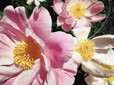 Poster featuring the photograph Peonies37 by Olivier Calas
