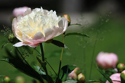 Poster featuring the photograph Peony Beauty by Rick Morgan