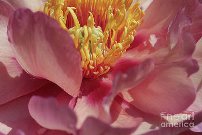 Peony In Peachy Pink Poster by Rachel Cohen