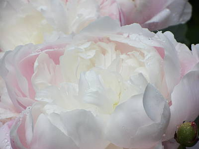 Poster featuring the photograph Peony by Karen Shackles