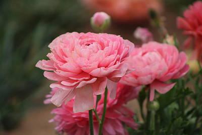 Peony Pink Ranunculus Closeup Poster