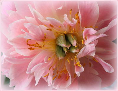 Peony Radiant In Pink Poster