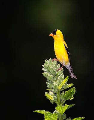 Perched American Goldfinch Poster