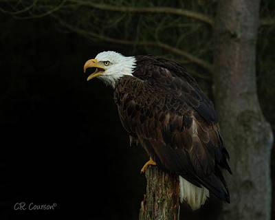 Perched Bald Eagle Poster