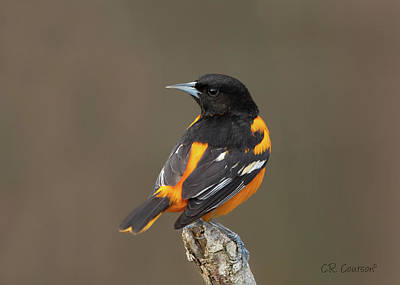 Perched Baltimore Oriole Poster