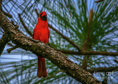 Perched Cardinal Poster