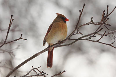 Perched Female Red Cardinal Poster