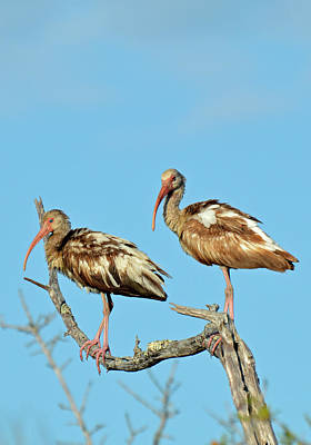 Perched White Ibises Poster by Bruce Gourley