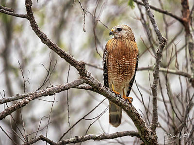 Poster featuring the photograph Perched Red Shouldered Hawk by David A Lane