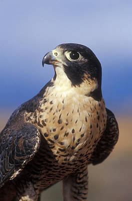 Peregrine Falcon Poster by Sandra Bronstein
