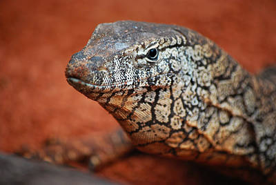 Perentie Monitor Lizard Color Poster