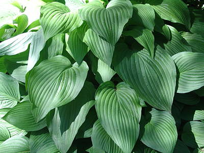 Perfect Hosta Poster