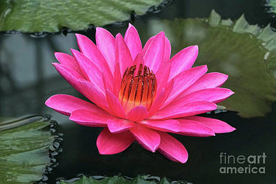 Perfect Pink Petals Of A Waterlily Poster by Byron Varvarigos