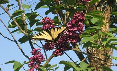 Poster featuring the photograph Yellow Swallowtail And Lilac by Deb Martin-Webster
