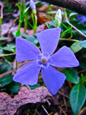 Poster featuring the photograph Periwinkle Flower by Lori Miller