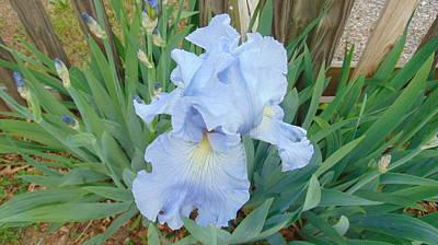 Periwinkle Iris  Poster