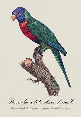 Perruche A Tete Bleue, Fem / Rainbow Lorikeet, Female - Restored 19th C. Illustration By Barraband Poster by Jose Elias - Sofia Pereira