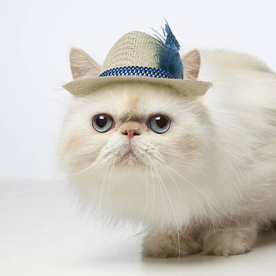 Persian Cat Wearing Straw Hat Poster