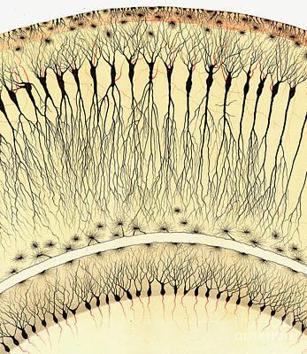 Pes Hipocampi Major Santiago Ramon Y Cajal Poster by Science Source