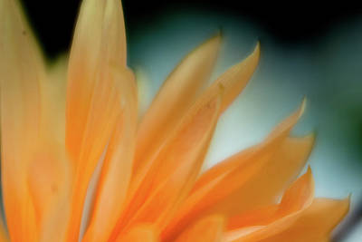 Poster featuring the photograph Petal Disaray by Greg Nyquist